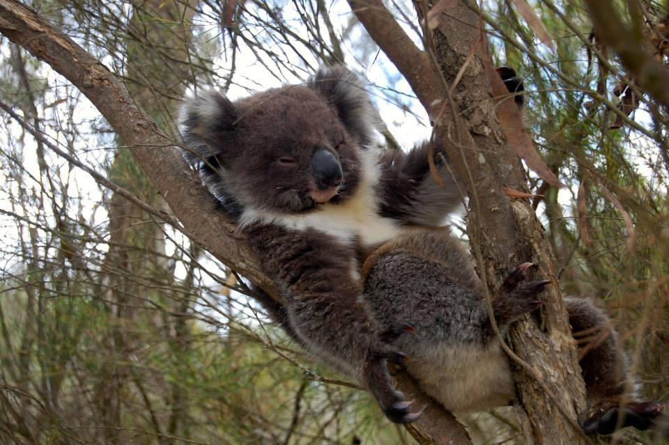 Koalababy sittende i et tre
