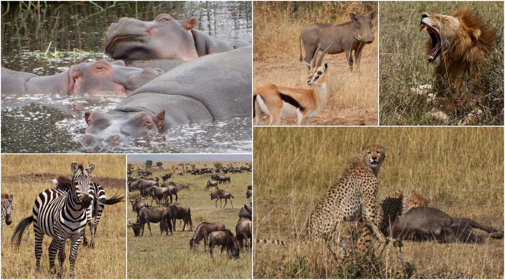 6-delt bildecollage av Afrikas dyreliv: en klynge flodhester i vannet, gaselle og et villsvin, en løve midt i en gjesp, løpende zebra, flokk med gnu og to geparder med byttet sitt.